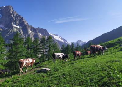 Sur les Traces de l'UTMB - Un bout de sentier avec les vaches